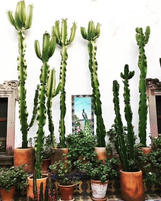 san-miguel-de-allende-cactus